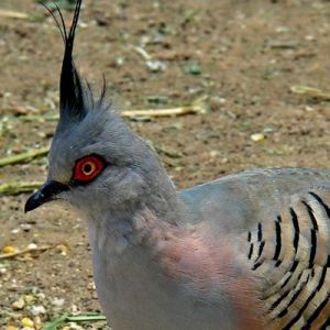 crested-pigeon-2