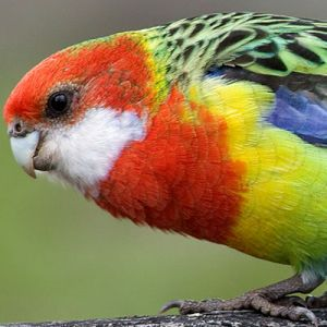 Green-mantled eastern Rosella