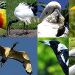 Roselle, magpie, ibis, cacatua. Benvenuti in Australia, il paradiso degli uccelli