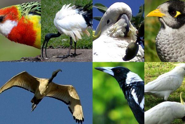 uccelli-australia-800